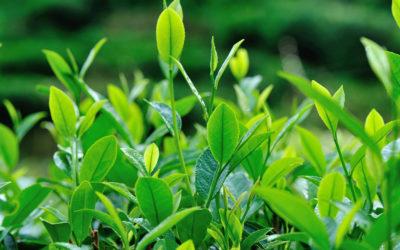 Niedoceniane składniki kosmetyków – olejek z drzewa herbacianego