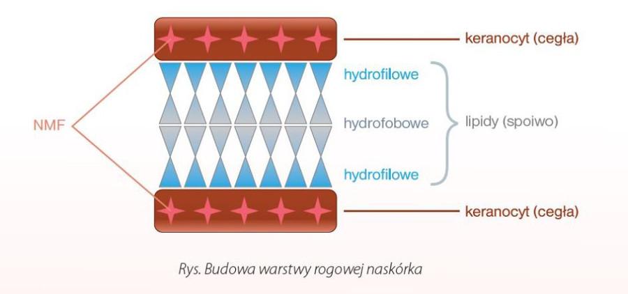rysunek przedstawiający budowę warstwy rogowej naskórka